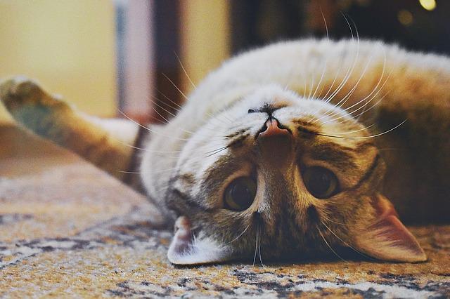 Im Katzencafé stehen die Samtpfoten im Mittelpunkt. (Quelle: dianageorgianasamson (CC0-Lizenz)/ pixabay.com)