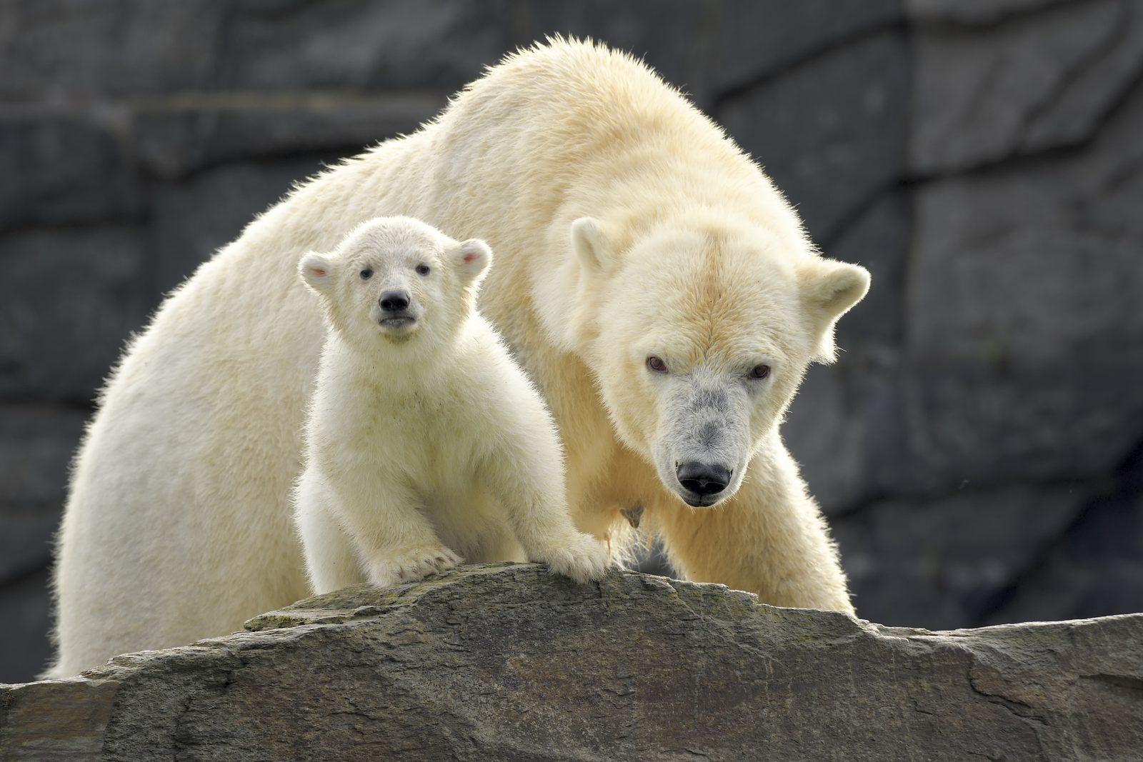 Polar bear cub Hertha with her mum Tonja standing on a rock at Eastberlin's zoo, Tierpark Berlin.