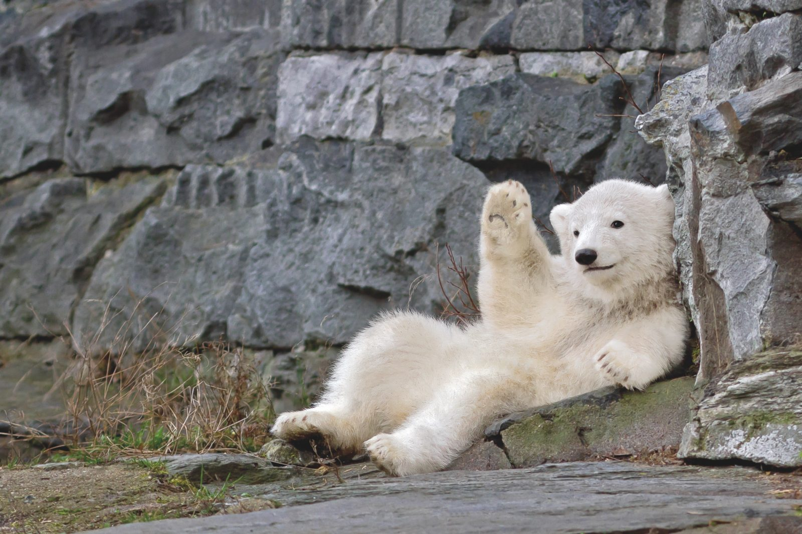 Polar bear cub Hertha waving to visitors at East Berlin's zoo Tierpark Berlin.