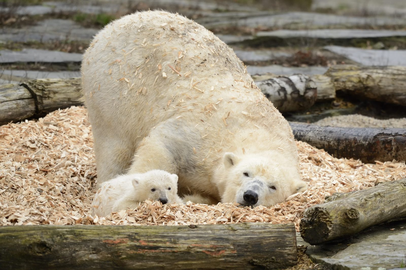 Polar bear cub Hertha with her mum Tonja lying in a pile of wood chips at East Berlin's zoo Tierpark Berlin.