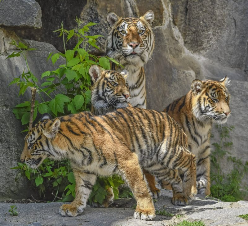 A tiger and three cubs in front of stone wall.