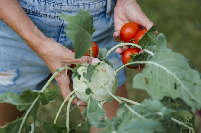 Blond woman harvesting tomatoes and kohlrabi model released Symbolfoto property released PUBLICATIONxINxGERxSUIxAUTxHUNxONLY HMEF00533
