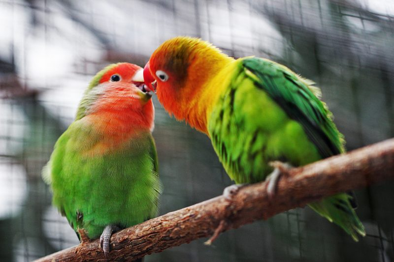Dating und Corona passen nicht zusammen. Zwei Vögel berühren sich mit ihren Schnäbeln.