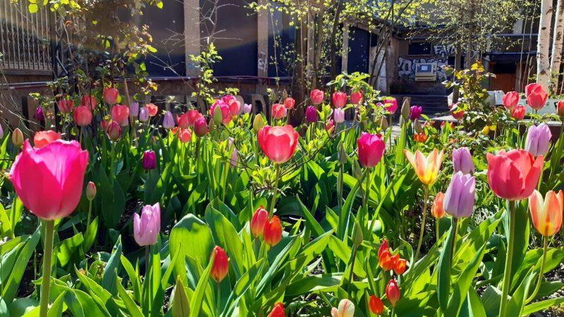 About Blank hat Geburtstag Tulpenbeet im Garten
