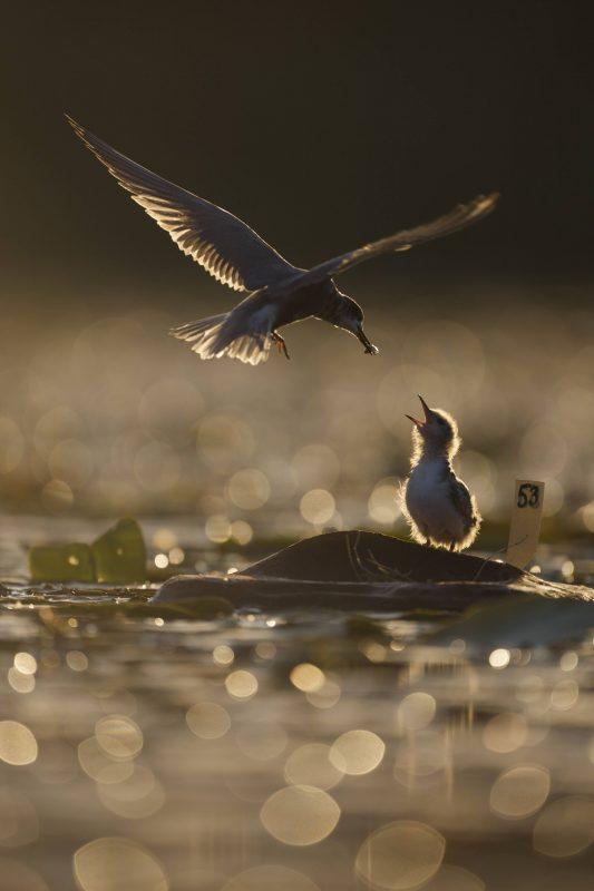 Am Müggelsee kann man insbesondere verschiedenste Vögel hören und beobachten.