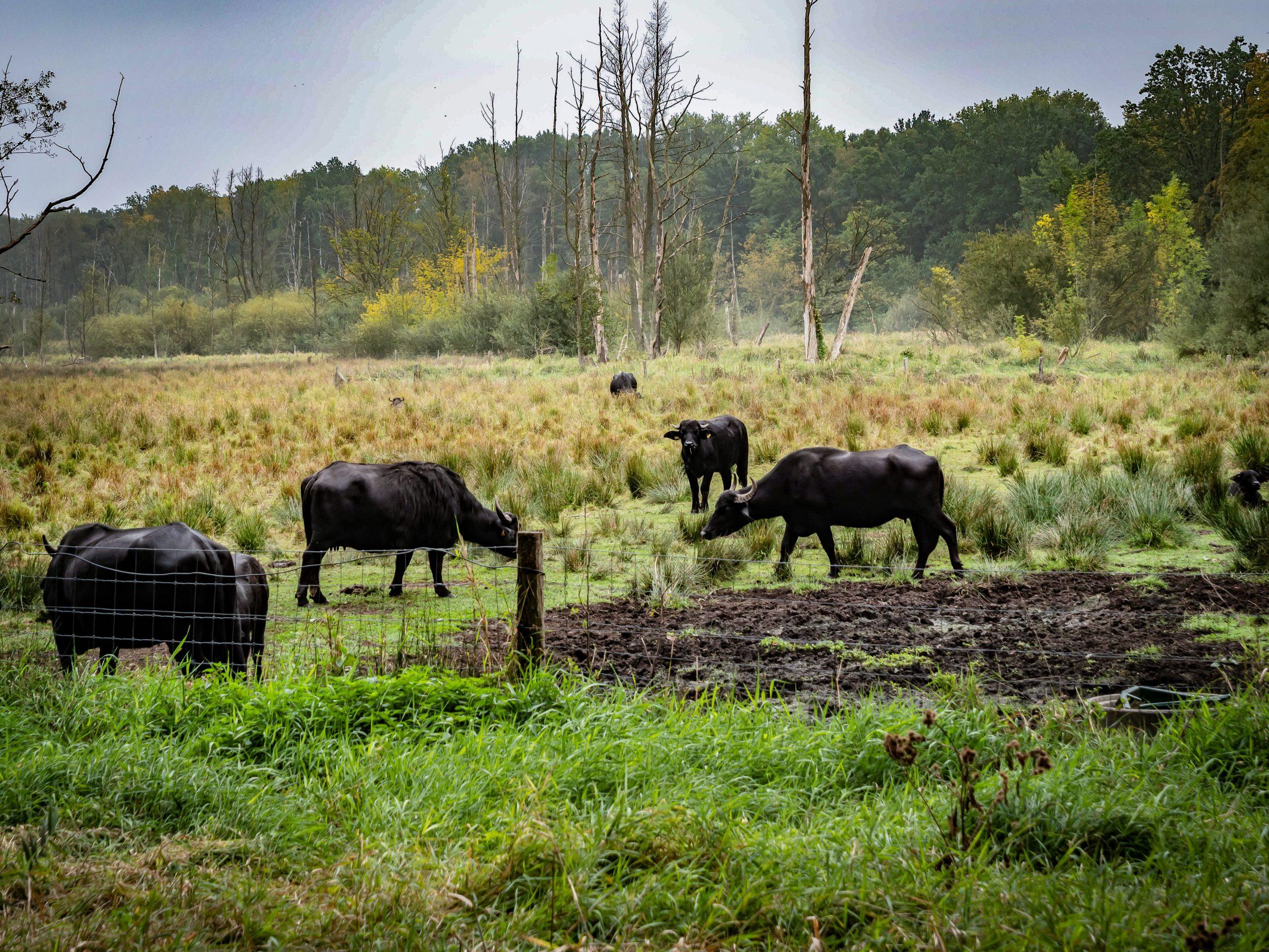 Kehren bald wieder zurück: Die Wasserbüffel vom Tegeler Fließ. Foto: Imago/Jürgen Ritter
