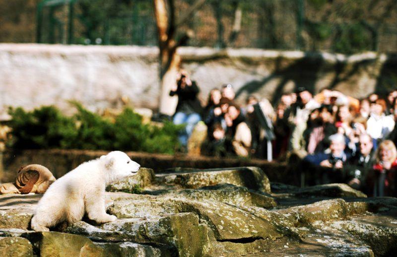 Berlins liebstes Knuddeltier: Eisbär Knut, 2007. Foto: imago/Sven Lambert