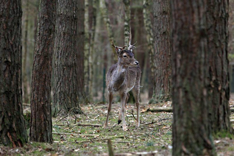 Rehböcke sind im Tierpark Kunsterspring südwestlich vom Eingang im Hochwald zu finden.