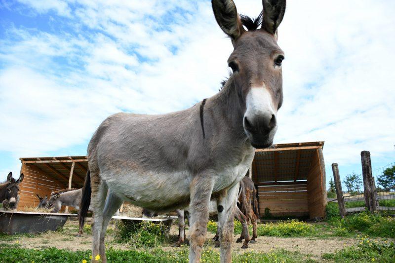 Esel sind sehr gesellige und gutmütige Tiere. Foto: imago images/PIXSELL