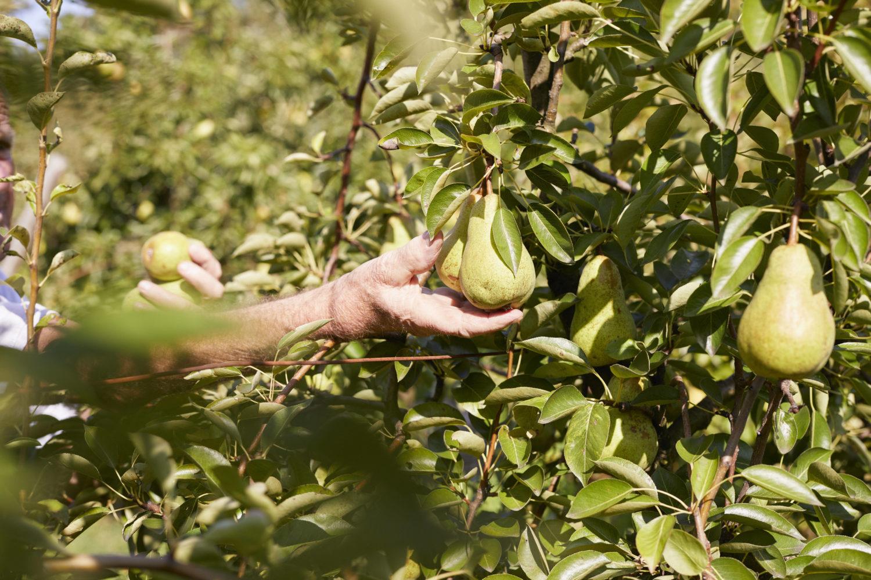 Obstwiesen in Brandenburg: Birnen direkt selber pflücken