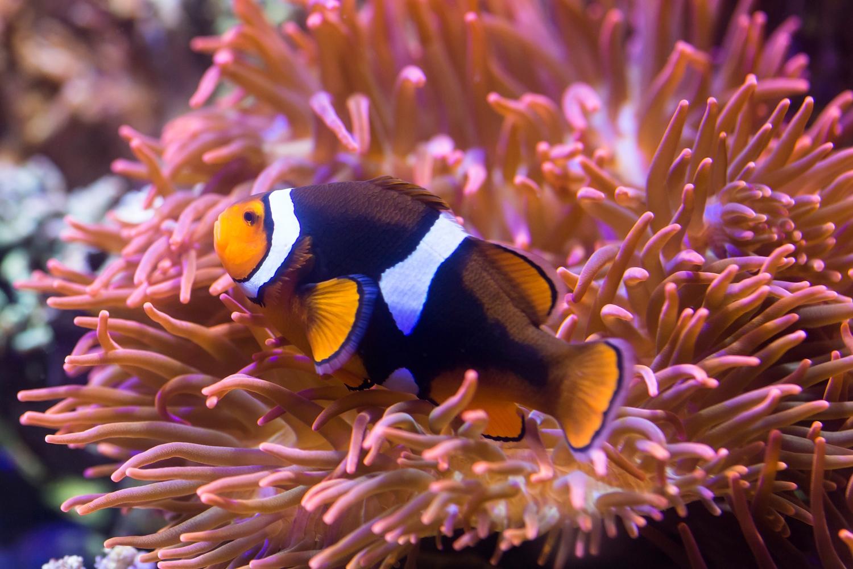 Urlaubsfeeling in Berlin: Ein Anemonenfisch im SeaLife – genau wie das Aquarium in Berlin ein toller Ort, um Meeresbewohner zu sehen. Foto: SeaLife