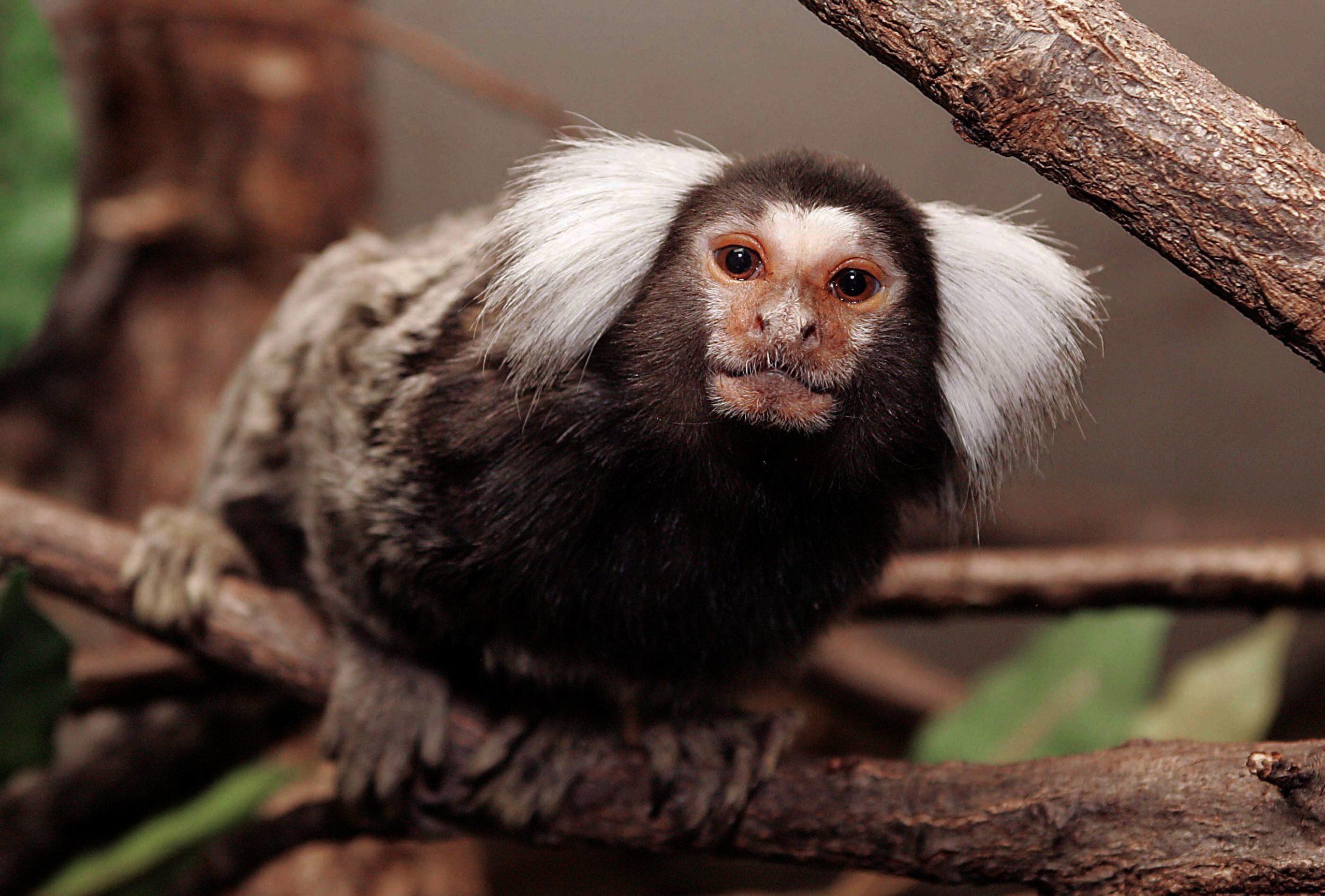 Seit 2007 werden im Affen-Zoo Jocksdorf verschiedene Affenarten, wie die Weißbüscheläffchen, gezüchtet. Besucher:innen können sich vor Ort über Umwelt- und Tierschutz informieren.