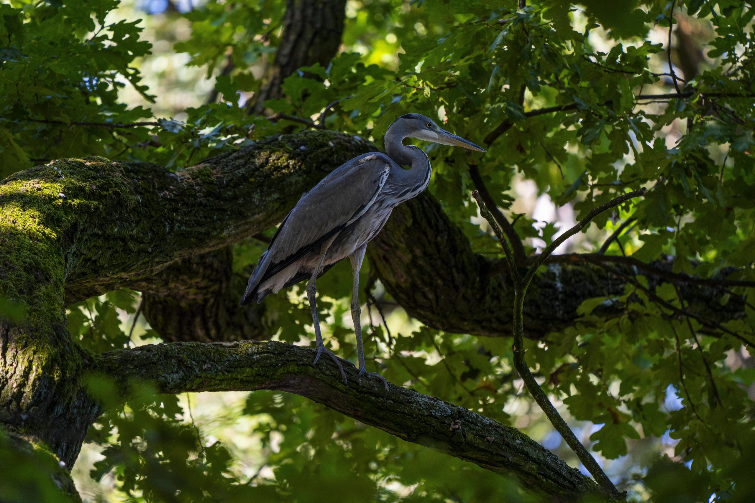 Tiere im Tiergarten? Na klar. Hier sieht man auch mal Graureiher in den Bäumen. Foto: Imago/Hohlfeld