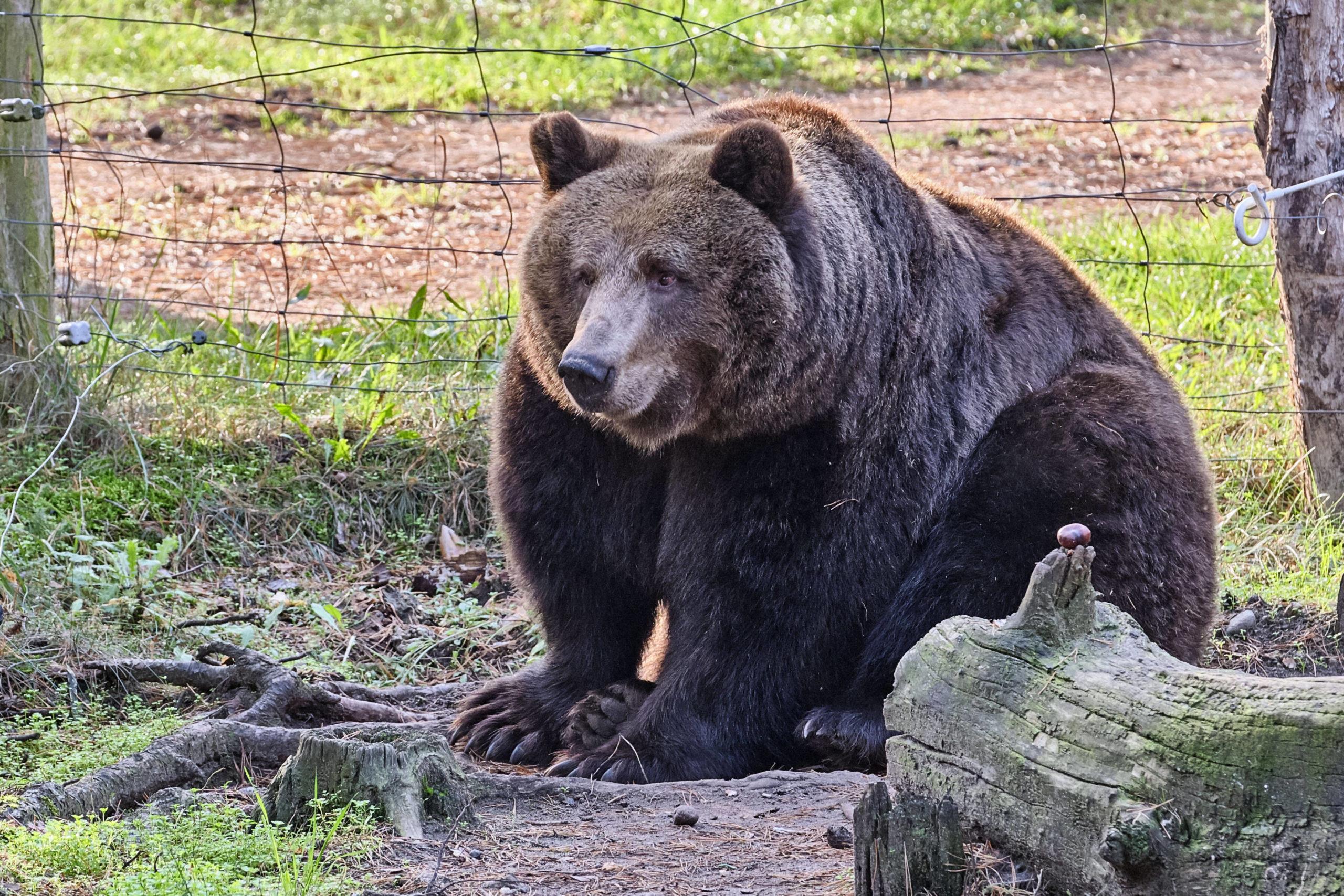 Ein Braunbär im Tierpark Johannismühle lässt alle Fünfe gerade sein.